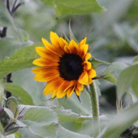 Sunflower Field Booking